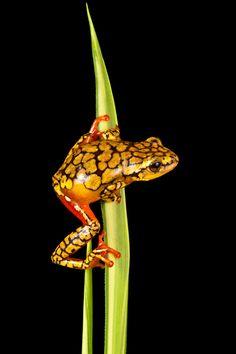 Photo : Une grenouille orange et jaune accroché à une feuille