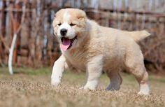 Собака алабай (фото): добрый нрав под грозной внешностью