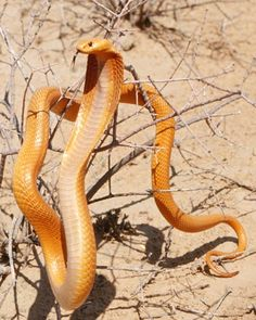 "When I was in South Africa reading by the pool, a Cobra jumped in the pool. Quite surprising. The name cobra comes from the Portuguese cobra de capello, meaning ""hooded snake."" When disturbed, the cobra, like this Cape cobra, raises its body off the ground and inflates its neck into a hood."