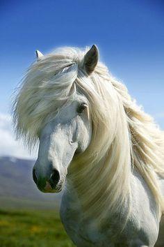 Icelandic white horse.