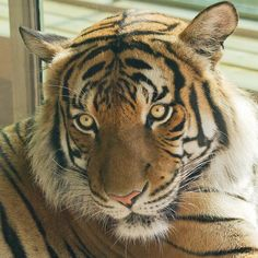 Tiger in Sedgwick County Zoo