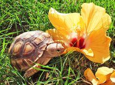 Sulcata Tortoise Hibiscus Flower