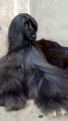 Black Affie (Afghan Hound)