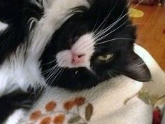 Photos of 12 Cats Who Wear Their Hearts on Their Fur | Catster http://www.catster.com/lifestyle/funny-cute-cat-pictures-photos-cats-hearts-fur-valentines-day   #heartnose #heart #cat