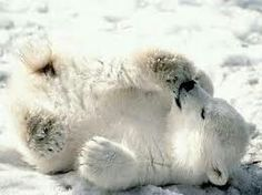 A collection of Polar Bear Pictures. Includes many pictures of the beautiful and majestic polar bear. Come here to find high quality polar bear pictures The Animals, Baby Animals Pictures, Bear Pictures, Cute Baby Animals, Funny Animals, Wild Animals, Animal Babies, Bear Animal, Arctic Animals