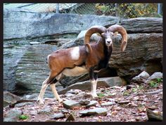The Mouflon is a species of wild sheep