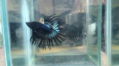 Crowntail black orchid for sale location indonesia. #betta #usa