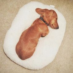 ⚠️ WARNING ⚠️ DO NOT STEP ON THE GUARD DOG! #tb #miniaturedachshund #instadog #sausagedog #dog #puppy #cute #dachshundsonly #instagood #dogs_of_instagram #pet #animal #petstagram #petsagram #photooftheday #dogsofinstagram #ilovemydog #instagramdogs #dogstagram #dogoftheday #lovedogs #lovepuppies #adorable #doglover #instapuppy #dachshund #justdachshunds #dachshundappreciation #sausagedogcentral #dachshundmoments