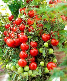 Window Box Red tomatfrø fra Danafrø - Klik her! Raised Garden Planters, Raised Garden Beds, Tomato Garden, Tomato Plants, Lost Garden, Veg Patch, Tomato Seeds, Hanging Pots, Winter Garden