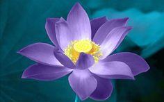 Resultados da Pesquisa de imagens do Google para http://www.patriciadambros.com/vitafisio/lotus_web.jpg