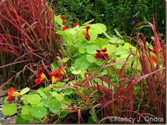 Imperata cylindrica 'Rubra' in full red fall color with red-flowered Tropaeolum majus 'Tip Top Mahogany'; Nancy J. Ondra at Hayefield