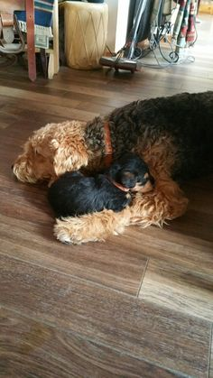 Actionable Puppy Training Advice for New Dog Owners Airedale Terrier, Irish Terrier, Fox Terrier, All Dogs, I Love Dogs, Welch Terrier, Cute Puppies, Cute Dogs, Malamute