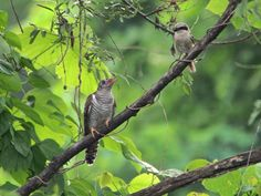 カッコウの幼鳥と仮親モズ