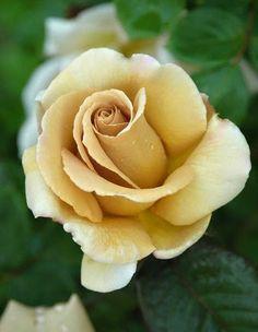 Rose. JacTan. Flower.