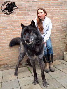"""Un perro lobo (también llamado lobo híbrido) es un híbrido cánido que resulta de la unión de un lobo gris (Canis lupus varias subespecies) y un perro (Canis lupus familiaris). El término """"perro lobo"""" es el preferido por la mayoría de los defensores y criadores de los animales debido a que el perro doméstico se reclasificó taxonómicamente en 1993 como una subespecie de Canis lupus, que incluye lobos grises."""