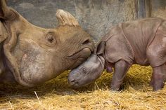 The Toronto Zoo would like to announce that Ashakiran, an 11-year-old female Indian Rhinoceros (Rhinoceros unicornis), gave birth to a male calf on Wednesday, February 17, 2016. Check out ZooBorns to learn more and see more! http://www.zooborns.com/zooborns/2016/02/toronto-zoo-announces-birth-of-endangered-rhino.html