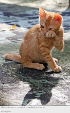 mostlycatsmostly: A kitten is the most irresistible comedian in the world - Agnes Repplier (via Chan Foo)