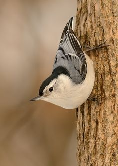 White-breasted Nuthatch: old growth woodland across much of temperate North America