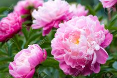 peony flower images - Google Search