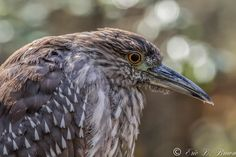 https://flic.kr/p/DwvUNC   Juvenile Night Heron   A Juvenile Night Heron captured  in South Carolina. Captured with Canon 7D Mark II with Canon 400 mm 5.6 L handheld.