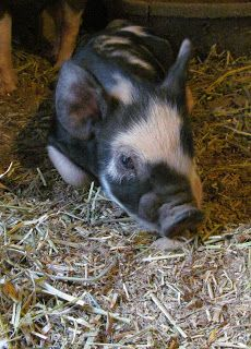 Idaho Pasture Pigs: The last of 2012 piglets.