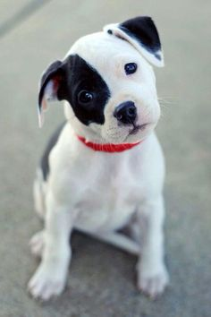 White & black puppy with  black  eyes