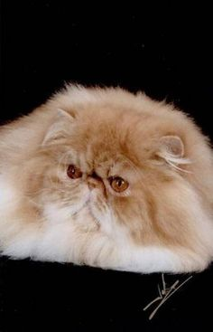 Most Popular Breeds - persian cat picture