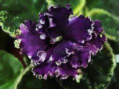 African Violet LE Visit - Breeder: Lebetskaya