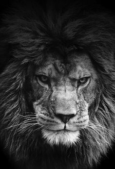 lions eyes close up - Google Search