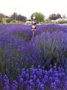 """Awww..Lavender.. """"A walk through a field of blooming lavender is a stroll that is never forgotten""""!"""
