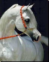 paarden arabier - Google zoeken