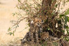 We wish we were in the Serengeti this #WildlifeWednesday 🌍 Three young cheetah seen relaxing in the shade - great picture by our guest Gisela Milman! 📸☀️