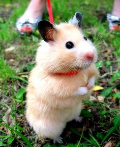 Hamster on a leash! Hamster Pics, Baby Hamster, Pretty Animals, Cute Funny Animals, Cute Cat Gif, Cute Cats, Baby Puppies, Dogs And Puppies, Animals And Pets