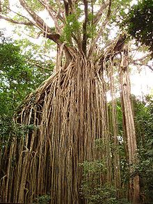 The amazing curtain fig tree