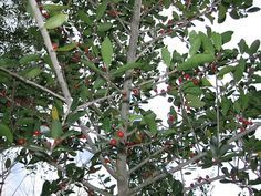 Yaupon Holly contains more caffeine pound for pound than coffee and can be used get your caffeine fix in the wild | Foraging Texas