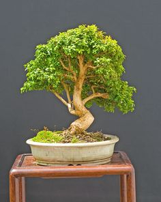Korean boxwood bonsai of Walter Pall Bloom, Boxwood Bonsai, Tree, Boxwood, Korean Boxwood, Ikebana, Master Gardener, Flowers, Houseplants