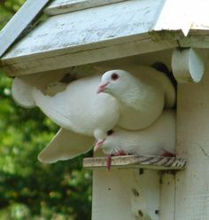 An affectionate white dove couple checks out a dovecote. Photo by Faith, author of the My Doves blog. Dove Pigeon, Turtle Dove, Birds And The Bees, White Doves, White Gardens, Cute Birds, Colorful Garden, Bird Cage, Bird Feathers