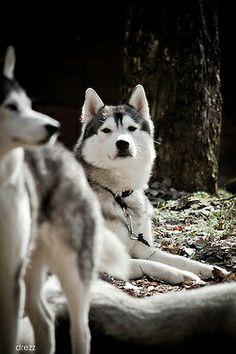 Typical husky arrogant look ;) #dog