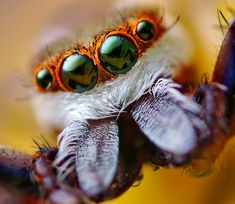 Jumping spider:  -The arachnids accurately sense distances by comparing a blurry version of an image with a clear one, a method called image defocus.  -Jumping spiders have four eyes densely packed in a row: two large principal eyes and two small lateral eyes.  -The findings could have important implications for the future design of visual systems in robots.