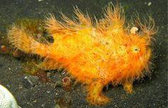 PEZ SAPO PELUDO, Es una de las criaturas más extrañas por su peculiar aspecto. Esta especie, que puede encontrarse en las aguas cálidas de Indonesia, camina sobre los lechos marinos en busca de alimento, escondido entre las esponjas y corales. Se parece a un sapo en todo: la forma semicircular de su cuerpo, su boca gruesa y su posición en la arena a la hora de saltar sobre su presa. De su cuerpo de color amarillo nacen numerosas ramificaciones que se asemejan a pelos. Su tamaño es muy…