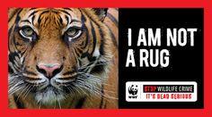 No more poaching!