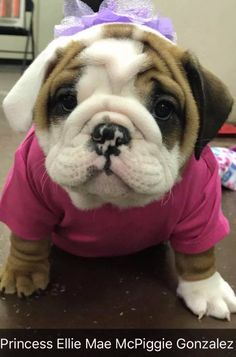 French Bulldog – Playful and Smart Cute Funny Animals, Funny Animal Pictures, Cute Baby Animals, Cute Puppies, Cute Dogs, Dogs And Puppies, Doggies, Baby Bulldogs, Cute Bulldogs