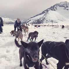 The Alaskan Husky is the sled dog of choice for world class dog sled racing. None of the purebred northern breed can match it for sheer racing speed. As a matter of fact. I was told by our guide that there are a couple of champion dogs in the group of dogs that were driving our sled. 🐕🐕 #verakoo #alaska #alaskanhusky#dogmushing #glacier Alaskan Husky, Group Of Dogs, Sled, Champion, Racing, Couple, Animals, Lead Sled, Running