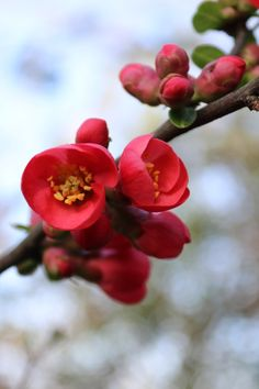 boschintegral-photo: Maule's Quince (Chaenomeles Japonica) Landscape Photography, Nature Photography, Ap Drawing, Drawing Ideas, Chaenomeles, Red Cherry Blossom, Image Nature, Spring Blossom, Pretty Flowers