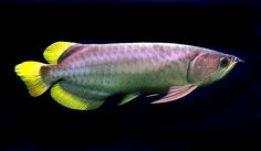 Rare and exotic aquarium fish experts for the UK and Europe Colorful Fish, Tropical Fish, Live Fish For Sale, Dragon Fish, Cool Fish, Scary Fish, Giant Fish, Monster Fishing, Freshwater Aquarium Fish