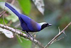 Beautiful Jay (Cyanolyca pulchra), South America