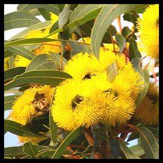 Eucalptus