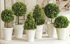 Boxwood at Entrance and Ceremony Aisle