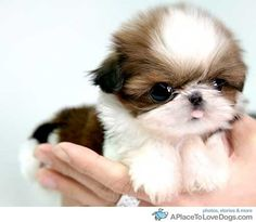 baby shih tzu...they are the cutest puppies EVER!