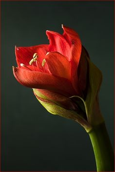 The time before Christmas passes by as I watch my amaryllis prepare to bloom.